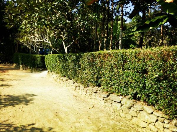 Bình yên ở làng cổ nơi miền sơn cước Quảng Nam Những hàng chè tàu cao ngang đầu người đặc trưng của làng cổ.