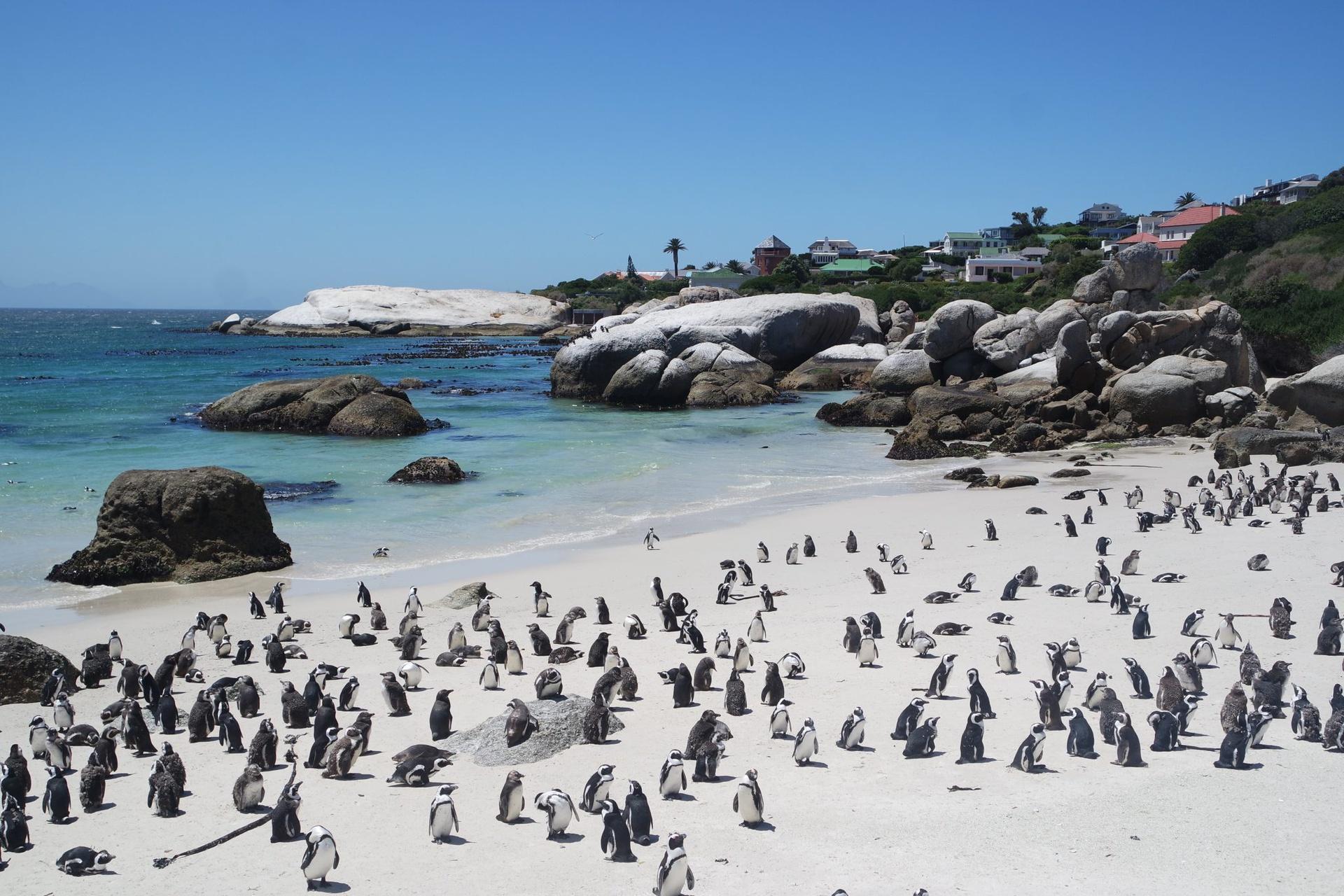"""Bãi biển chim cánh cụt (Nam Phi): Nằm cạnh thị trấn Simon, bãi biển Boulders có lẽ là nơi đông đúc nhất trong 7 địa danh được giới thiệu nhưng không phải du khách mà là chim cánh cụt. Hàng nghìn con chim cánh cụt châu Phi coi bãi biển này là """"nhà"""", nơi chúng sống từ những năm 1980. Để tiếp cận bãi biển, du khách phải trả khoản phí dùng cho dự án bảo vệ sinh thái. Bạn có thể thỏa thích ngắm và chụp ảnh cùng những sinh vật ngộ nghĩnh đang đi lang thang, nô đùa trên bãi biển. Ảnh: Lamyerda."""
