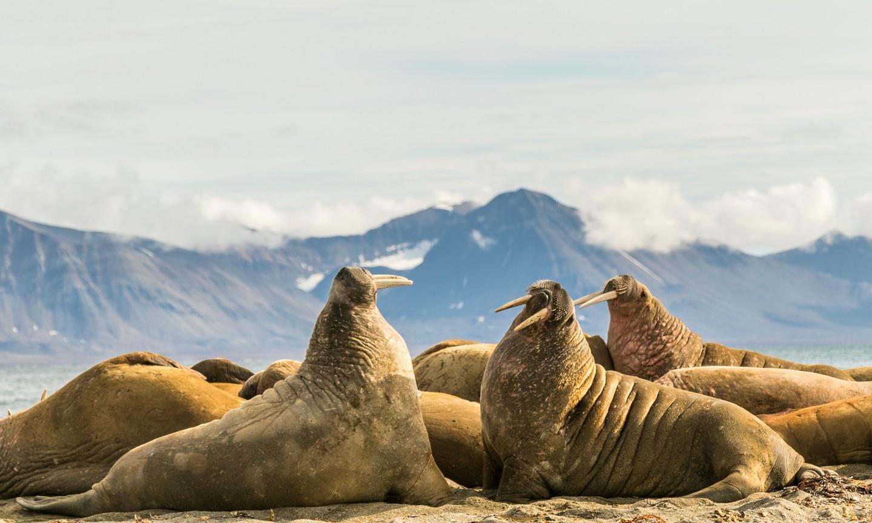 Quần đảo Svarlbad, Na Uy được cho là nơi tốt nhất trên thế giới để ngắm hải mã. Trên đất liền, nhiều công ty du lịch và các điểm tham quan tổ chức tour ngắm những con thú đáng yêu này. Ảnh: Shutterstock.