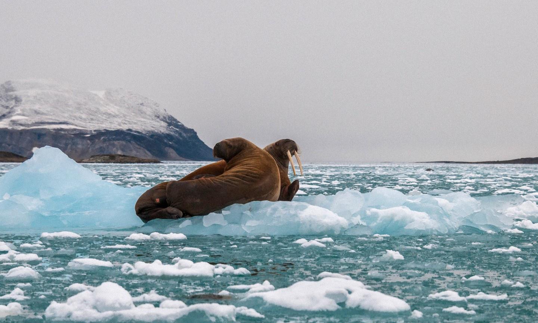 Greenland, hòn đảo lớn nhất thế giới nằm ở Bắc Cực, là nơi dễ dàng bắt gặp hải mã trên đất liền hay dọc các bờ biển phía Đông. Hải mã thường trôi dạt trên các tảng băng, chúng từ đó nhảy xuống làn nước lạnh buốt để tìm kiếm các loài thân mềm làm thức ăn. Để ngắm hải mã, du khách nên liên hệ các nhà điều hành tour ở Nuuk, thủ đô của Greenland. Ảnh: Shutterstock.