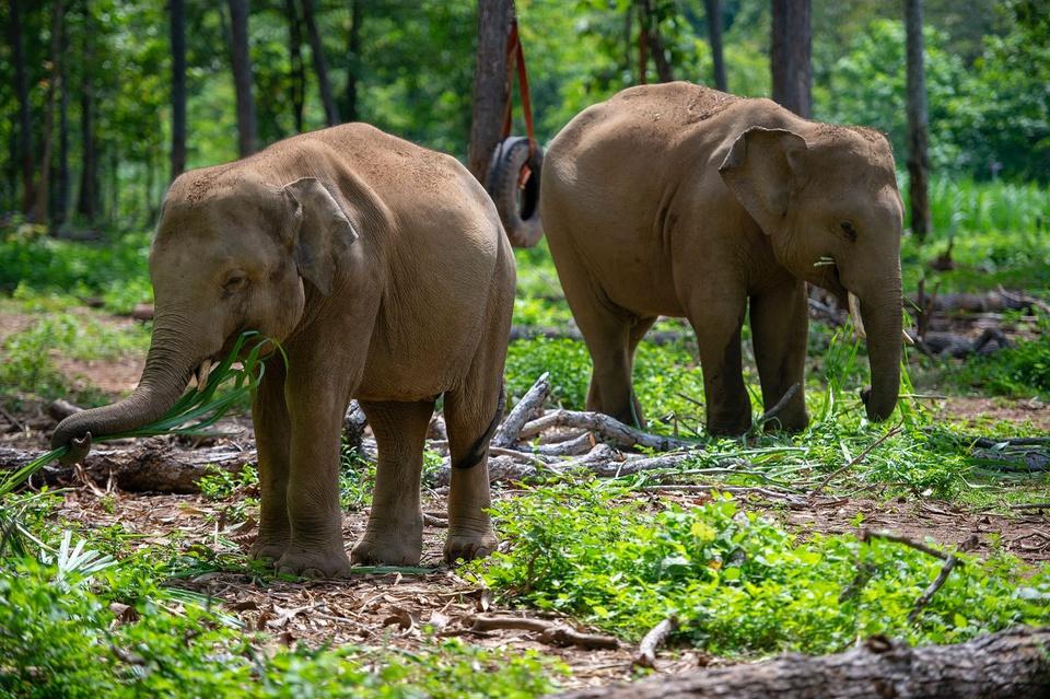 Trung tâm Bảo tồn voi Đắk Lắk được thành lập vào năm 2011. Nơi đây bảo tồn, giám sát quần thể voi hoang dã, voi nhà, chăm sóc sức khỏe và sinh sản cho voi, cứu hộ voi bị nạn, giúp chúng tái nhập đàn, thực hiện nghiên cứu khoa học... Ảnh: Phạm Ngôn.