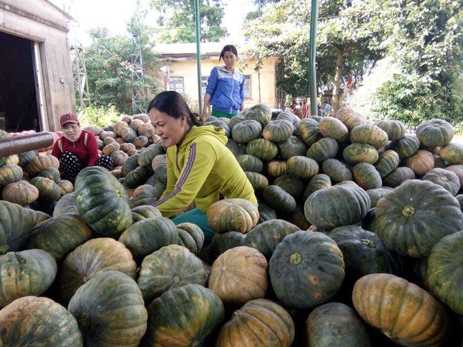Nông sản bí đỏ tại Phú Yên đã thu hoạch khoảng 150 tấn/12ha tại xã Hòa Hội - huyện Phú Hòa nhưng do thương lái không thu mua nên dẫn đến tình trạng rớt giá (chỉ còn 1.200 - 2.000 đồng/kg).