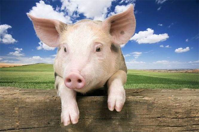 Bạn có biết 10 loài động vật nào thông minh nhất trên hành tinh? ảnh 8