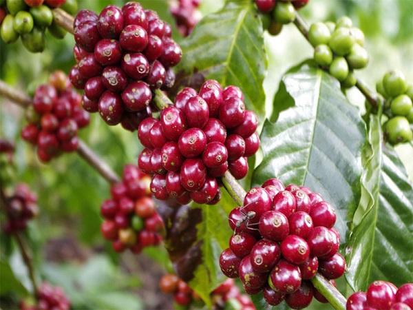 """Quảng Trị: Xây dựng chỉ dẫn địa lý và chuỗi giá trị cho cà phê """"Khe Sanh""""."""