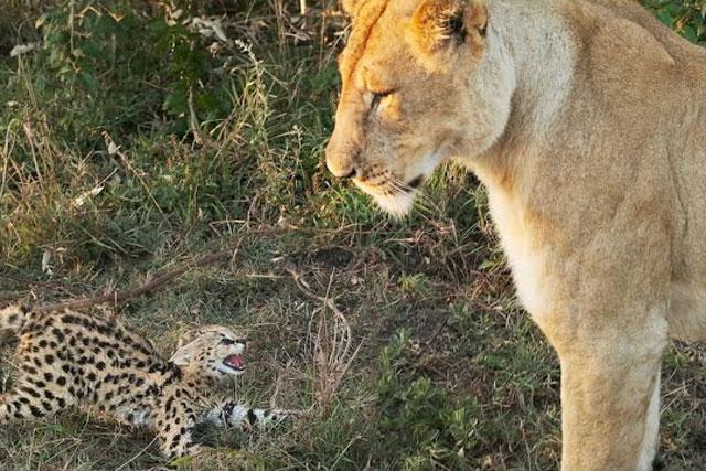 Sư tử không tha cho chú linh miêu nhỏ.