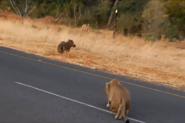 Dù con sư tử xuất hiện ở vị trí rất trống trải, nhưng do mải mê kiếm ăn nên chú lợn bướu đã không nhận ra nguy hiểm.
