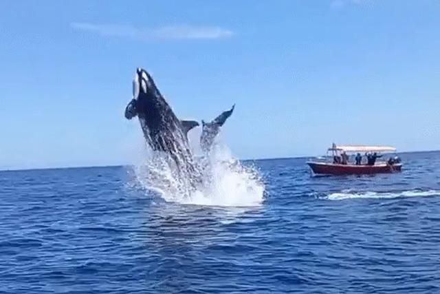 Cá voi sát thủ hất văng cá heo lên không trung để giết chết con mồi.