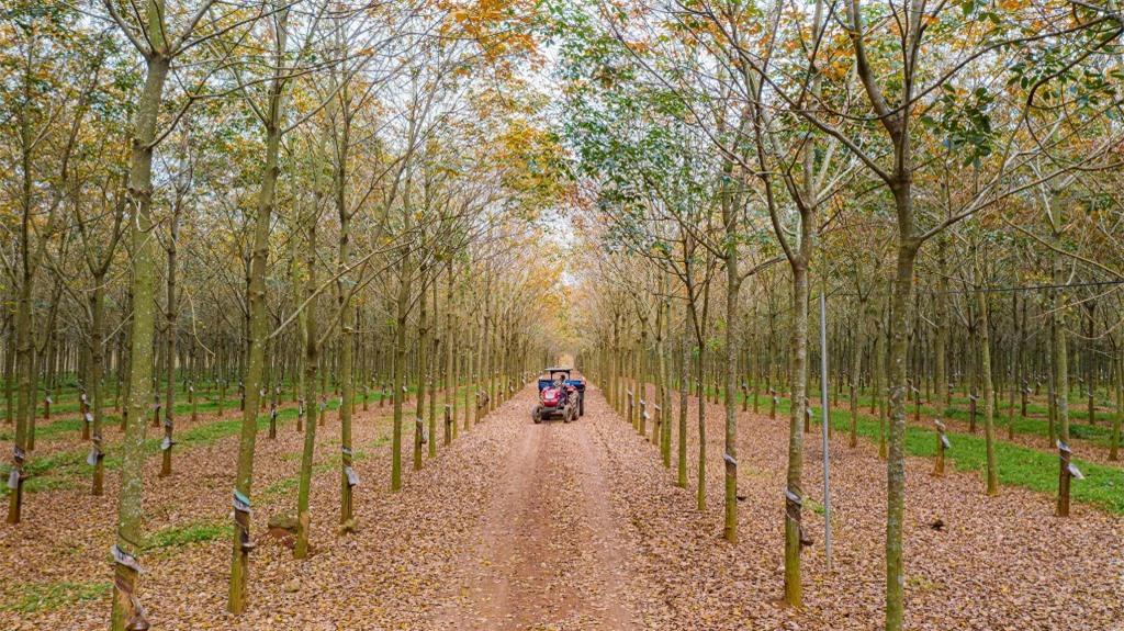 Trải nghiệm vẻ đẹp cao-su mùa thay lá ở Đồng Nai -0