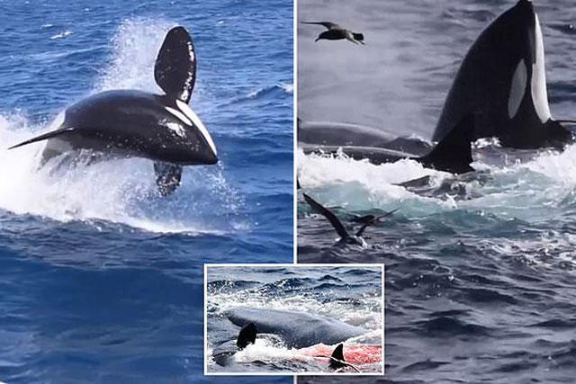 Cá voi sát thủ giết chết cá voi xanh dài hơn 15m.