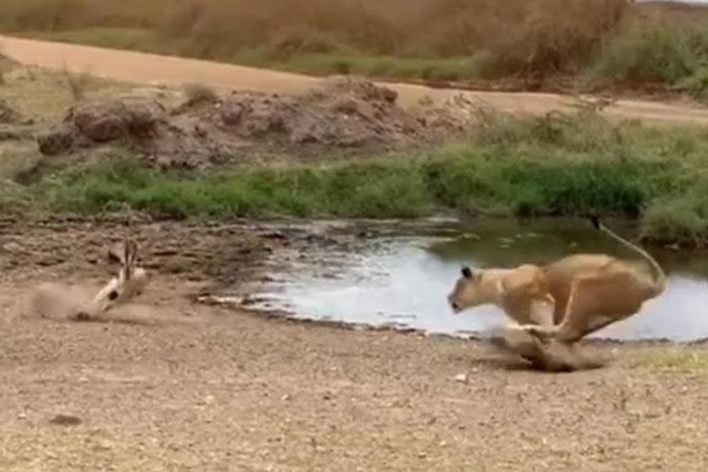 Linh dương tránh thoát khỏi cú vồ của sư tử.