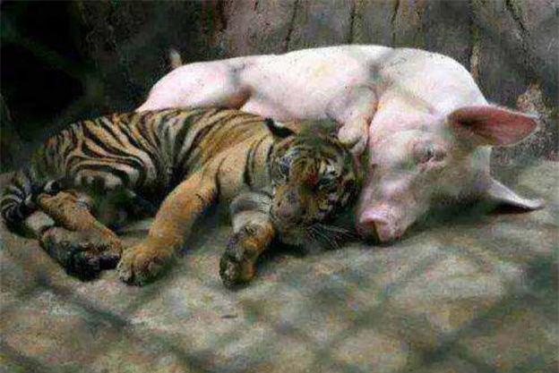 Đưa hổ con vào chỗ lợn mẹ để cho bú, vài tháng sau, người nuôi giật mình không biết phải làm sao khi chứng kiến cảnh tượng này - Ảnh 2.