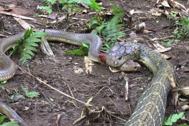 Hổ mang chúa giết chết rắn săn chuột.