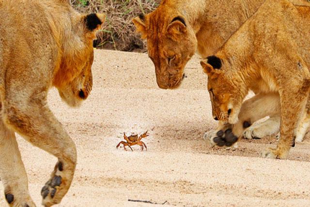 Sư tử đánh mất 'uy vương' chỉ vì… 1 con cua bé xíu