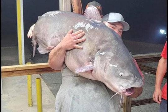 Câu trúng cá trê nặng gần 60kg