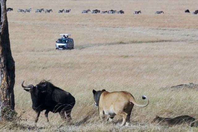 Linh dương đầu bò bị 3 con sư tử bao vây.