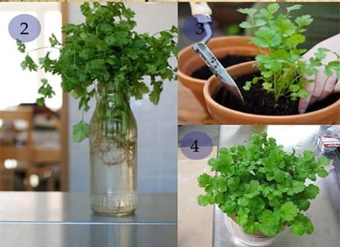 Cách trồng 5 loại cây gia vị trong bếp, ăn thoải mái, hết lại tự lên  - Ảnh 4.