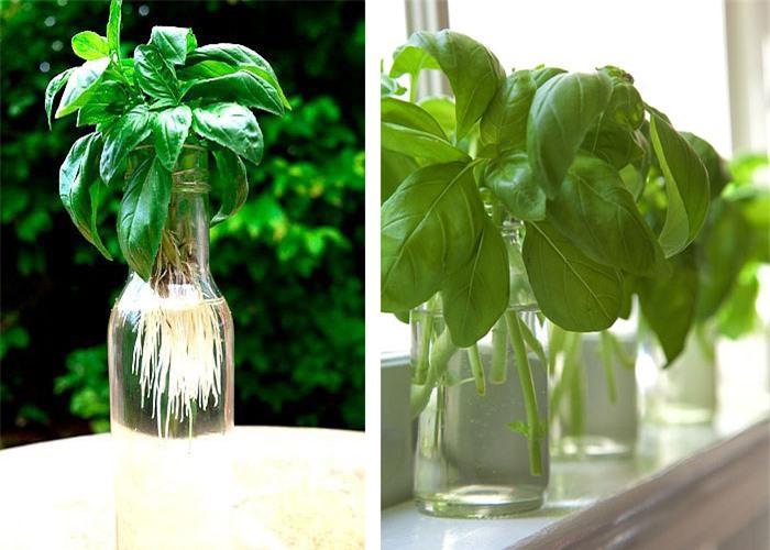 Cách trồng 5 loại cây gia vị trong bếp, ăn thoải mái, hết lại tự lên  - Ảnh 7.