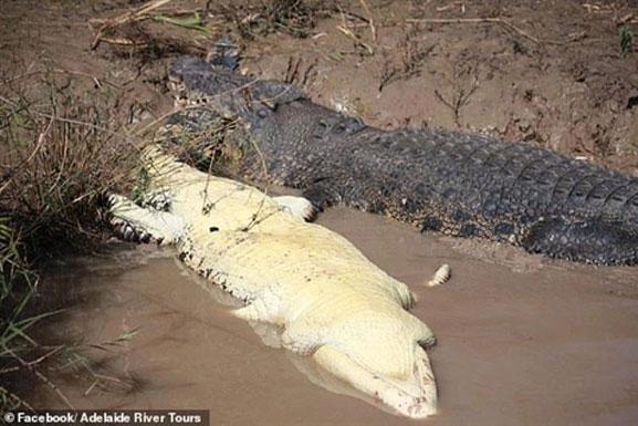Cá sấu khổng lồ bỏ mạng: Kẻ hạ sát là ai?