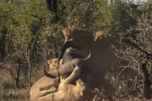Bầy sư tử cùng nhau hạ sát trâu rừng.