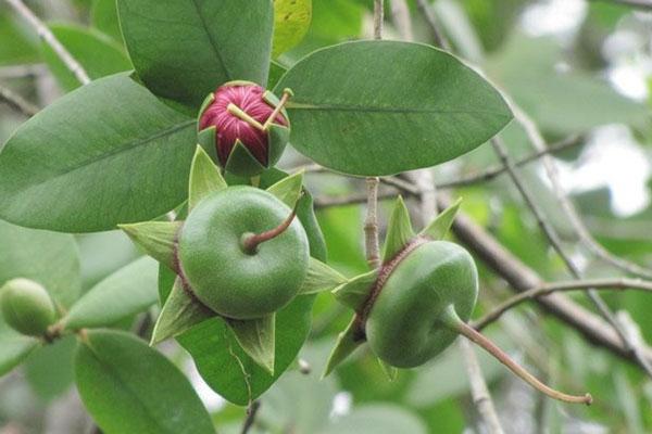 Loài cây mọc hoang, được người miền Tây chế biến món ăn dân dã, xuất khẩu sang nước ngoài bán trong siêu thị