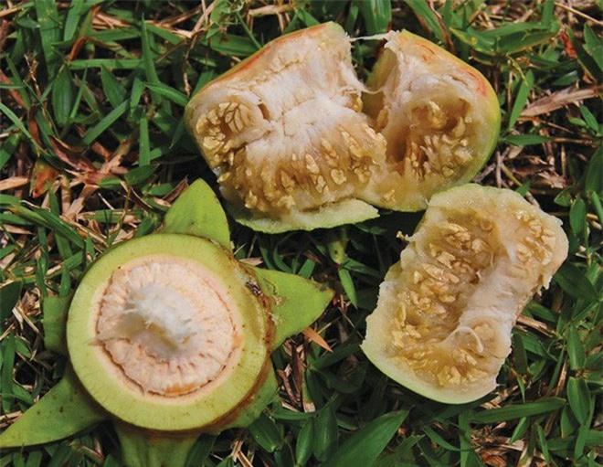Loài cây mọc hoang, được người miền Tây chế biến món ăn dân dã, xuất khẩu sang nước ngoài bán trong siêu thị - Ảnh 4.