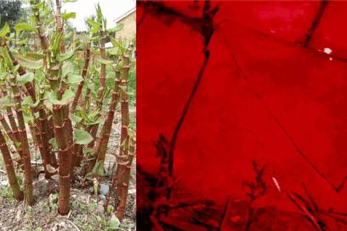 Loài cây lên rễ dài 7 mét, dân châu Á cực yêu thích nhưng người châu Âu lại sợ hãi, không một ai dám trồng