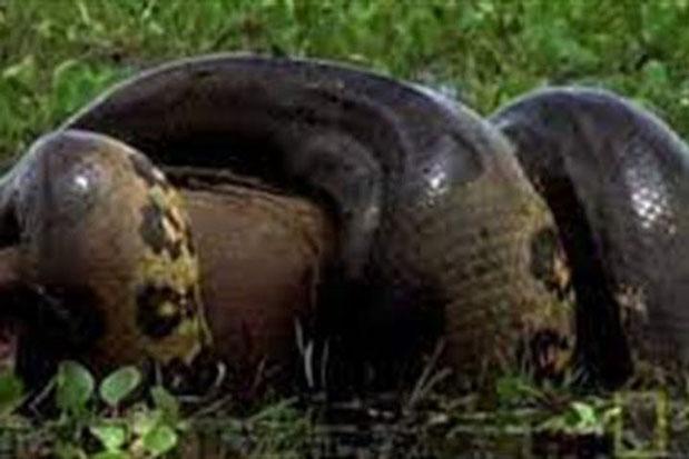 Kinh hãi trăn Anaconda giết 'quái vật' chuột khổng lồ