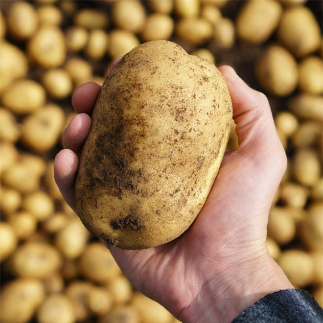 Những điều bạn chưa biết về khoai tây: có họ hàng với cà chua, cà tím và nhiều cây có độc, tự sản sinh chất độc thần kinh khi mọc mầm - Ảnh 3.