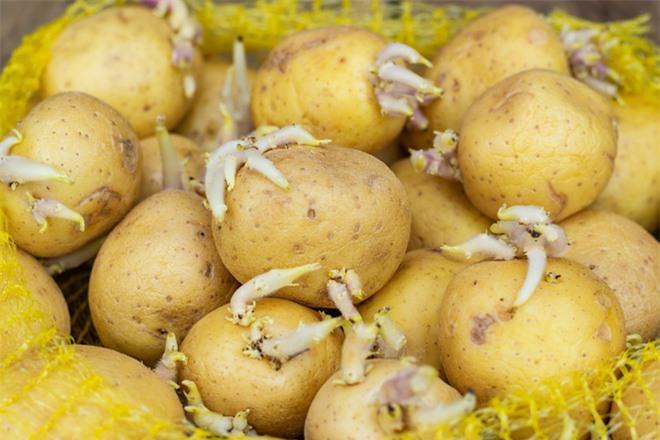 Những điều bạn chưa biết về khoai tây: có họ hàng với cà chua, cà tím và nhiều cây có độc, tự sản sinh chất độc thần kinh khi mọc mầm - Ảnh 5.