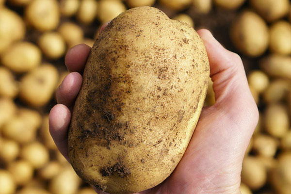 Những điều bạn chưa biết về khoai tây: có họ hàng với cà chua, cà tím và nhiều cây có độc, tự sản sinh chất độc thần kinh khi mọc mầm