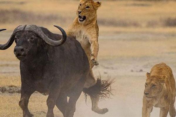 Tưởng thành công, bầy sư tử bất ngờ bị trâu rừng cho nếm 'trái đắng'