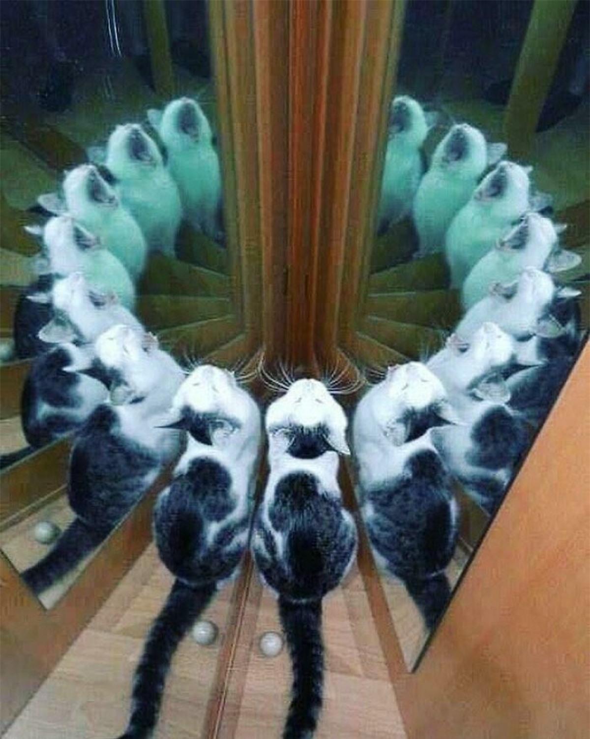 Hình ảnh hack não khiến người xem khó phân biệt đâu là mèo thật và đâu là hình phản chiếu trong gương.