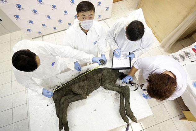 Tìm thấy 'đồ hiếm' bên trong xác ướp 42.000 tuổi từ Kỷ Băng Hà, các nhà khoa học mừng hơn bắt được vàng: Kỳ tích chuẩn bị xảy ra!