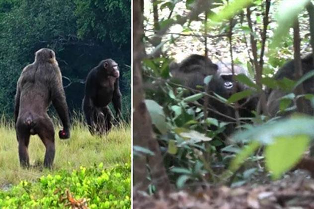 Tinh tinh đại chiến khỉ đột: Câu chuyện tang tóc