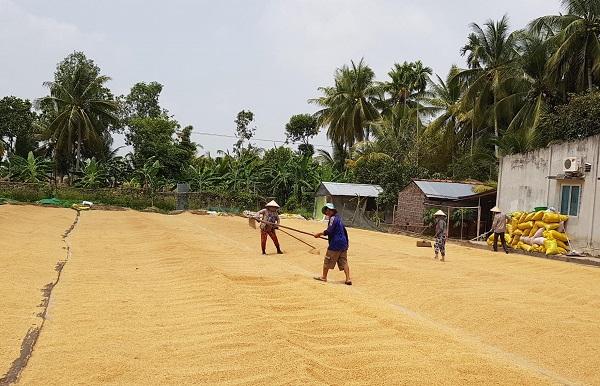 Đồng bằng sông Cửu Long: Khẩn trương thu mua tạm trữ giúp nông dân tiêu thụ lúa