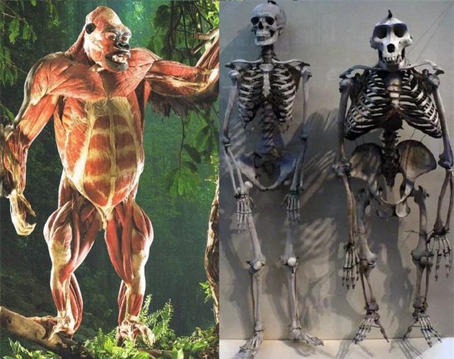 Tại sao khỉ đột, tinh tinh và chuột túi hầu như không cần phải tập luyện sức mạnh mà cơ bắp của chúng vẫn cực kỳ phát triển? - Ảnh 10.