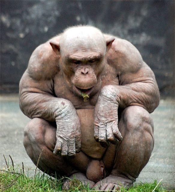 Tại sao khỉ đột, tinh tinh và chuột túi hầu như không cần phải tập luyện sức mạnh mà cơ bắp của chúng vẫn cực kỳ phát triển? - Ảnh 2.