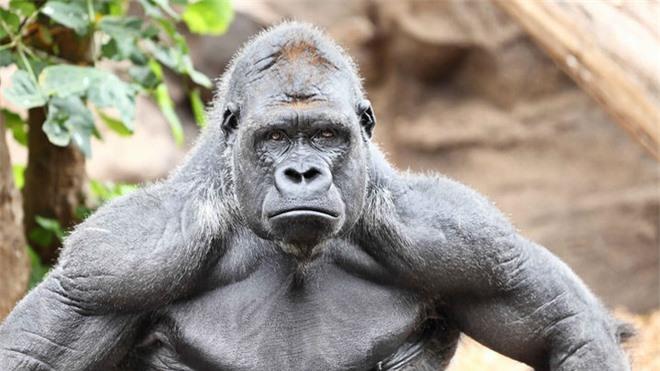 Tại sao khỉ đột, tinh tinh và chuột túi hầu như không cần phải tập luyện sức mạnh mà cơ bắp của chúng vẫn cực kỳ phát triển? - Ảnh 3.