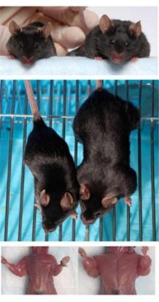 Tại sao khỉ đột, tinh tinh và chuột túi hầu như không cần phải tập luyện sức mạnh mà cơ bắp của chúng vẫn cực kỳ phát triển? - Ảnh 5.