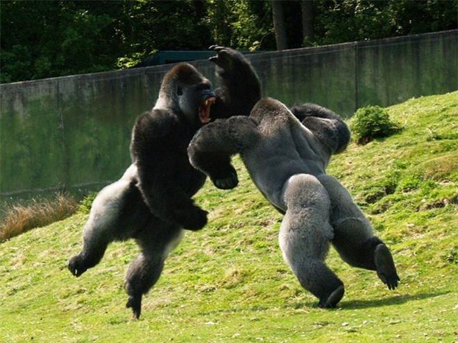 Tại sao khỉ đột, tinh tinh và chuột túi hầu như không cần phải tập luyện sức mạnh mà cơ bắp của chúng vẫn cực kỳ phát triển? - Ảnh 9.