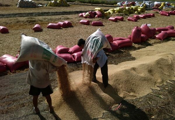Nông dân phải tự thu hoạch lúa chất đống ngoài đồng chờ thương lái đên mua.