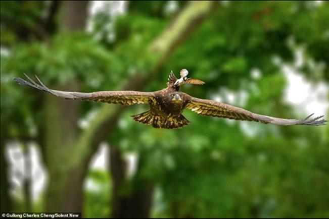 Chúa tể bầu trời bị chim nhỏ tấn công: Vì sao?