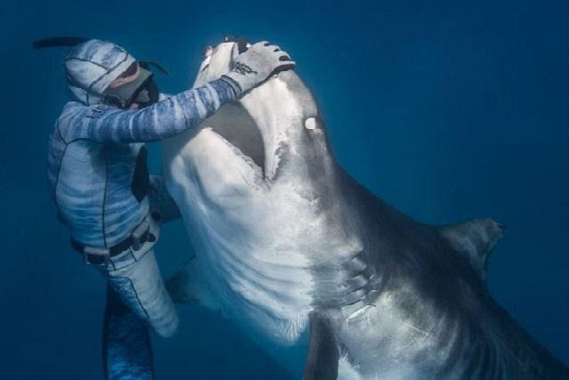 Thợ lặn bắt cá mập hổ khổng lồ để khám miệng.