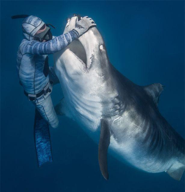 Chùm ảnh: Rùng mình cảnh thợ lặn chơi đùa, âu yếm cá mập hổ khổng lồ ảnh 1