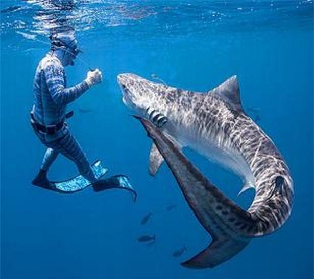 Chùm ảnh: Rùng mình cảnh thợ lặn chơi đùa, âu yếm cá mập hổ khổng lồ ảnh 3