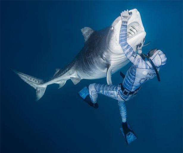 Chùm ảnh: Rùng mình cảnh thợ lặn chơi đùa, âu yếm cá mập hổ khổng lồ ảnh 4