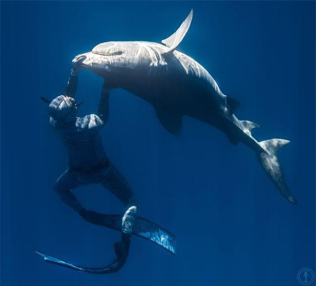 Chùm ảnh: Rùng mình cảnh thợ lặn chơi đùa, âu yếm cá mập hổ khổng lồ ảnh 7