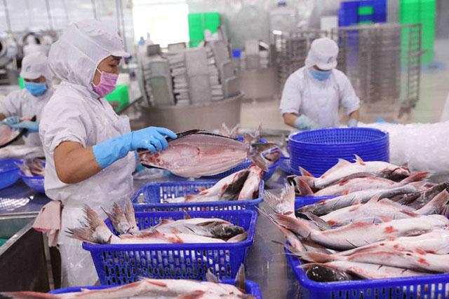 Chế biến cá tra nguyên con xuất khẩu tại một nhà máy chế biến thủy sản ở An Giang. (Ảnh: TTXVN).