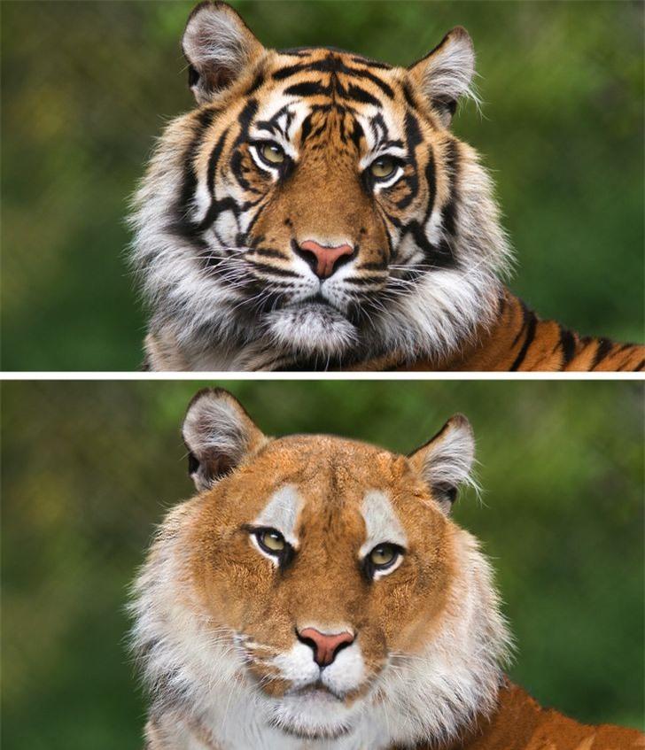 Hổ không vằn và các loài động vật mất đi điểm riêng biệt sẽ trông như thế nào? - Ảnh 3.