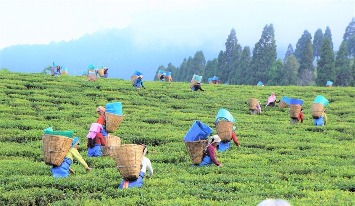 Đồi chè Ấn Độ. Nguồn: shikhar.com